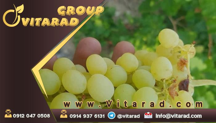 Grapes are one of the most delicious fruits in the world