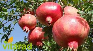 Pomegranates of Saveh