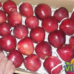 tree apples