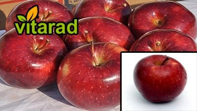 Iranian apples for export