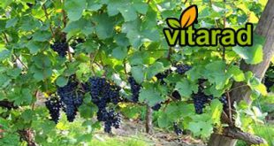 black grapes for export