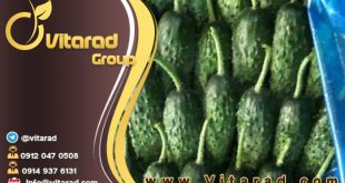 Fresh high quality organic Iranian cucumber